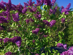lilac in bloom 3