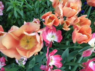 coral-ppink tulips small