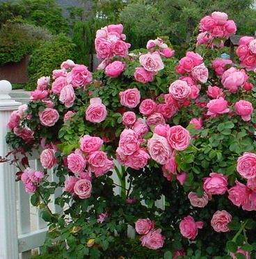 Hedge of pink roses