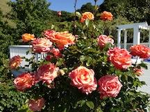 Arizona roses