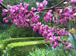 redbud in bloom in the rain