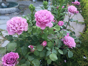 Angelface roses