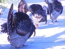 Tom turkeys